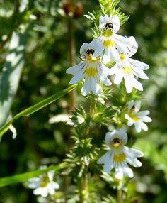 Acum aproape 200 de ani, preotul bavarian Sebastian Kneipp – unul din fondatorii mișcării medicinei naturopatice vorbea despre o plantă care poate curăța ochii și întări vederea.