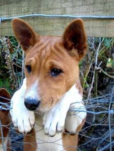 basenji I want one! Hypo allergenic so Andrew can still live inside ;)