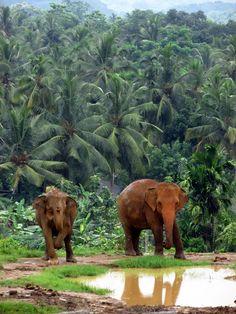 Pinnawala Elephant Orphanage, Sri Lanka  water hole