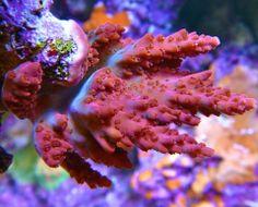 Tyree FF Strawberry Lemonade Sps Coral, Strawberry Lemonade, Atlantis, Aquarium, Cabbage, Vegetables, Kitchen, Goldfish Bowl, Cooking