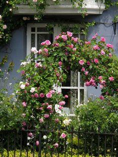 Rosas David Austin, Beautiful Roses, Beautiful Gardens, Rose Arbor, Garden Arches, Climbing Roses, Rose Cottage, Garden Gates, Dream Garden