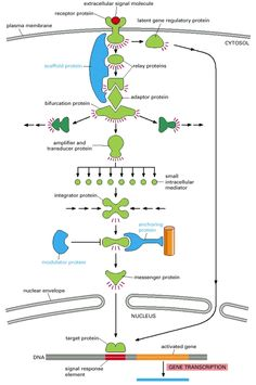 Figure 15-16. Different kinds of intracellular signaling proteins along a signaling pathway from a cell-surface receptor to the nucleus.