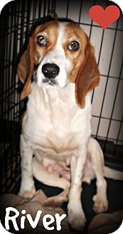 Ridgeland, SC - Beagle Mix. Meet River, a dog for adoption. * River is heartworm positive and needs a sponsor/foster for treatment/recovery from this non-contagious disease. http://www.adoptapet.com/pet/12004782-ridgeland-south-carolina-beagle-mix