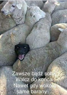 An image tagged dogs,funny dogs,sheep Cute Funny Animals, Funny Animal Pictures, Funny Dogs, Funny Sheep, Cute Animal Humor, Funny Photos, Happy Photos, Hilarious Pictures, Baby Pictures