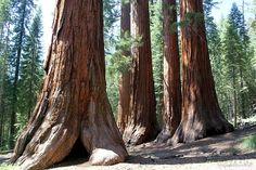 Nature photography woodland decor landscape photo forest trees sequoia California photograph 5x7 (13x18) F R E E  SHIPPING
