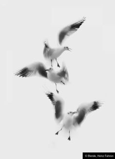 """© Blende, Heinz Fahrion, Flügel Ballett,  Thema: """"Schwarzweiß""""  #Fotowettbewerb #Tierfotografie #Schwarzweiß"""