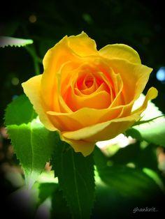 Me encantan las rosas amarillas.