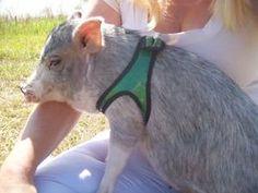 Pet Pig Harnesses, get your piggy a custom harness for Christmas!