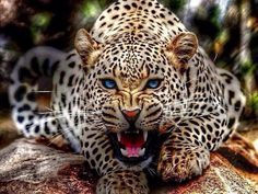 """""""Leopards often hunt from trees where their spotted coats allow them to blend with the leaves until they spring with a deadly pounce!"""" - Oasis HD"""