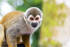 Squirrel Monkey Closeup by jkraft5 (http://500px.com/photo/164993677)  Get paid $$ for taking a few minutes to complete short surveys.