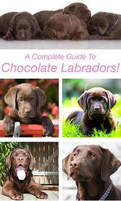 Chocolate Labrador Retriever facts, features, and fun! An in-depth guide to the world's favorite brown dog. From origins to how to find a puppy, it's here.