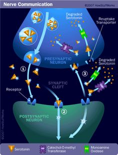 Synaptic transmission moves information from the presynaptic cell to the postsynaptic cell. Learn more about synaptic transmission and how it works.