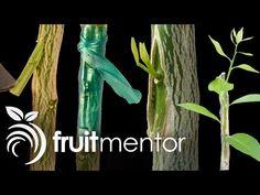 CÓMO HACER un INJERTO de PÚA en un árbol FRUTAL. - YouTube