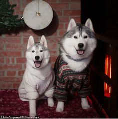 Jump-eround: These two husky buddies look over the moon to have been dressed up in cozy kn...
