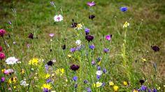 Wildblumenwiese pflegen