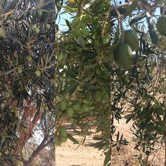 Visitando la finca con auditoría de producción #ecológica para #China hoy y ayer #aove #calidad #control  También Preparándonos para la nueva cosecha muestreos #aceitunas #ecológico #aove #perfectas