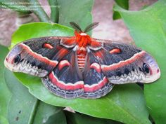 Male Cecropia Silkmoth