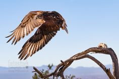 Flight with Purposeful Eyes -     This Hawk takes flight off a branch near Tucson Arizona with his intense eyes full of purpose.     Related Post                          Path in South Antelope Canyon Bw                                       Supple Cactus Flower