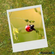 #Ladybug 🐞.#PolaroidFx #Polaroid #Collage #Insect #Nature #Garden #Flowers