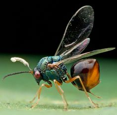Eucharitid wasps are parasitic of many different species of ants. Eucharitid larvae will attach themselves to foraging ants, who unknowingly bring them back to the colony. Once there, the wasp larvae feed on ant larvae until they develop into adult wasps.