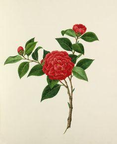 Camellias, unknown