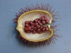 File:Bixa orellana seeds.jpg