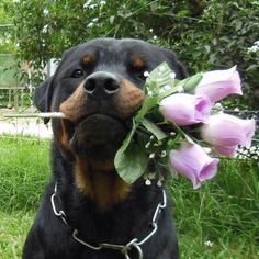 """I Love You!""... Rottweiler  .jpg (800×800)"