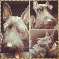 Soy Hynde y soy Scottish Terrier :)