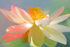 Lotus Flower Paintings / images using Akvis Oil Paint Filt… | Flickr Flower Painting Images, Flower Paintings, Paint Filter, White Lotus, Lotus Flowers, Oil, Paintings Of Flowers, Lotus Blossoms, Flower Pictures