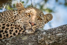 """""""Relaxing Leopard in the Tree"""" by Simon Eeman: I spotted this stunning leopard in Kruger National Park who was relaxing in a tree with a full belly. It was so relaxed that I spent almost an hour with him. He looked at me and I took this picture just before I left, leaving the leopard enjoying its nap."""