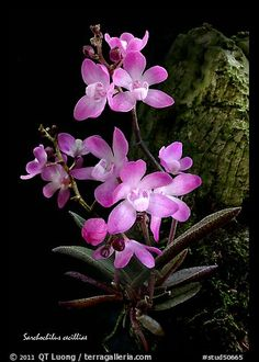 Picture/Photo: Sarcochilus cecilliae plant. A species orchid