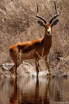 The Impala (Aepyceros melampus) is a medium sized antelope. Males are 30 to 36 inches at the shoulder and weigh 117 to 168 lbs. Females are 28 to 33 inches and 88 to 117 lbs.