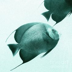 Marine photography of Angel Fish by Andrew Bret Wallis