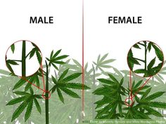 How to Identify Female and Male Marijuana Plants