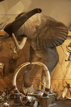 Alpine Artistry, Taxidermy, amazing taxidermy, montana taxidermist, elephant taxidermist