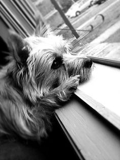 Cairn terrier! Looks just like my Daisy playing neighborhood watch (which she takes very seriously)