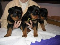 Rottweiler Puppies for Sale from Rottweiler Breeders