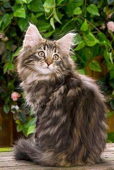 CAT 03 JE0042 01 © Kimball Stock Norwegian Forest Cat Kitten Sitting In Garden