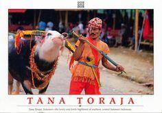 INDONESIA (Sulawesi) - A Torajan with a tedong bonga