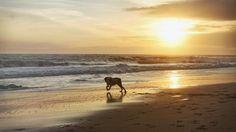 Beach weekend in Malibu!Scorsese enjoying the LA beach weather.  #dogsofinstagram #mansbestfriend #sunset #malibu #beachlife #springerspaniel #campingwithdogs #leocarrillo #hikingwithdogs by zandersonfilm
