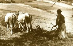 Szántás ökörrel Csesznek határában, 1930-as évek. kepido.oszk.hu
