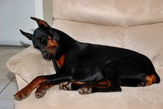 """Doberman Hope you're doing well.From your friends at phoenix dog in home dog training""""k9katelynn"""" see more about Scottsdale dog training at k9katelynn.com! Pinterest with over 20,400 followers! Google plus with over 143,000 views! You tube with over 500 videos and 60,000 views!! LinkedIn over 9,200 associates! Proudly Serving the valley for 11 plus years"""