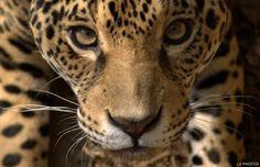 onca pintada | Notícia Animal: Onça-pintada