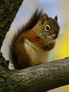 Posing   Red squirrel by Robert Grove