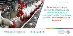 Para identificar el virus de influenza aviar, el SENASICA realiza constantemente muestreos de aves, principalmente en granjas. SAGARPA SAGARPAMX #MéxicoAgroPotencia