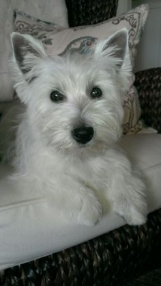 "West Highland White Terrier:  ""Pearl"""
