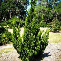 Hollywood Juniper   The Tree Center™