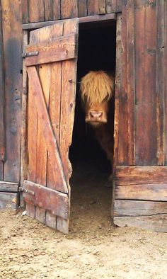 Scottish highland cow ... I took this picture at This is the Place Heritage Park. It triggers all kind of emotions in me.