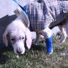 A few days ago you heard about a dog named Sammy that was so severely abused and neglected that for the first week he was in hospital he couldn't even stand up. Well, Sammy is a fighter and he is slowly making progress, now able to stand and walk, and is eating better as well.