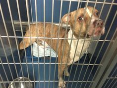 PupPup - ID#A1075983 - URGENT – located in Manhattan Center, New York - 3 years old male Pit Bull Mix